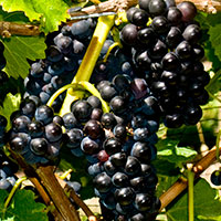 Varieties_PinotNoir